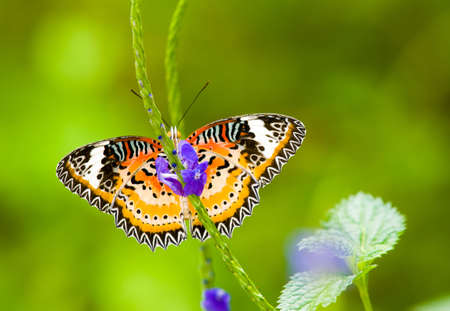 lacewing: Male Leopard Lacewing Butterfly Foraging on Blue Common Snakeweed  Stock Photo