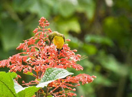 sunbird: Sunbird Feeding in the Flowers