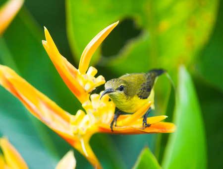 sunbird: Female Olive-backed Sunbird Stock Photo