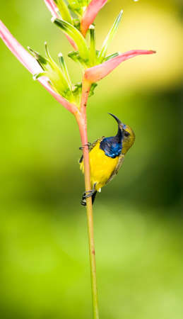 sunbird: Male Olive-backed Sunbird Perched on Heliconia Flower