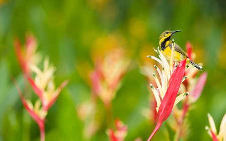 sunbird: Sunbird on Heliconia Stock Photo