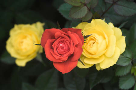 Three Roses Stock Photo - 4228623