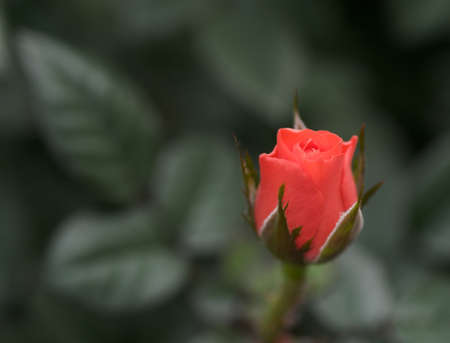 tight focus: Red Red Rose