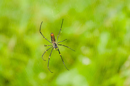 weaver: Golden Orb Weaver Spider