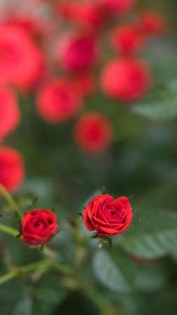 red rose bokeh: Red Red Rose