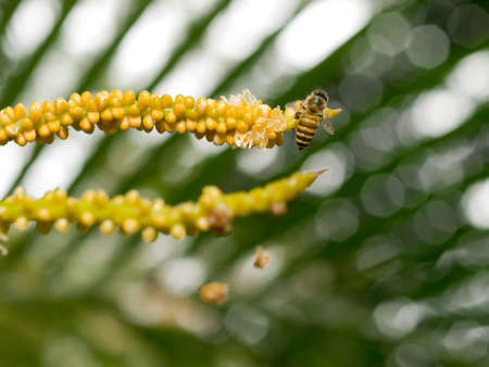 slits: Bee Foraging Hungrily on Freshly Bloomed Palm Flowers Stock Photo