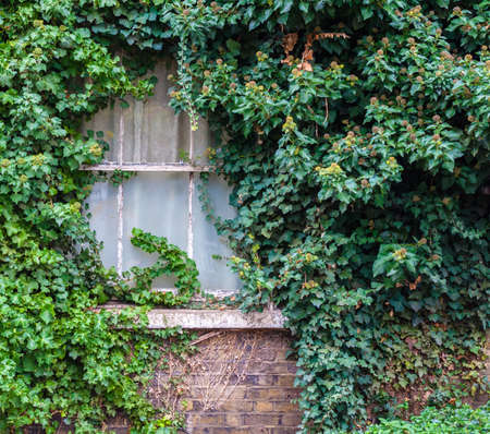 overrun: Old Window in House Covered with Green Ivy Stock Photo