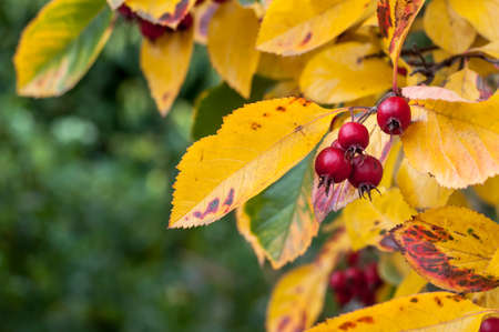 aria: Close Up of Whitebeam (Sorbus Aria) Autumn Tree Leaves and Red Berries Stock Photo