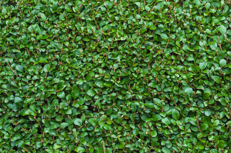 bush to grow up: Extreme Close-Up of Freshly Cut Green Privet Hedge Stock Photo
