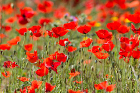Beautiful Red Wild Poppies in Meadow photo