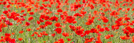 World war 2: Beautiful Red Wild Poppies in Meadow Stock Photo