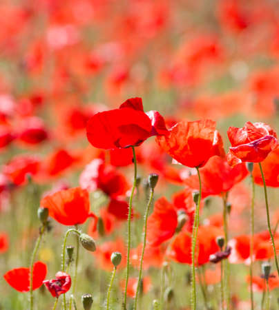 first day: Beautiful Red Wild Poppies in Meadow Stock Photo