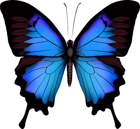 Blue butterfly papilio ulysses (Mountain Swallowtail) geïsoleerd