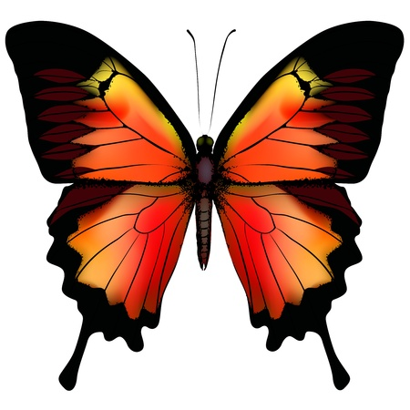 butterfly wings: Isolated Butterfly  Illustration