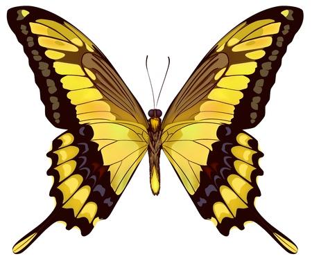 amarillo y negro: Mariposa amarilla aislada