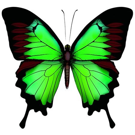 Vector illustration of beautiful green butterfly  isolated on white background  Çizim