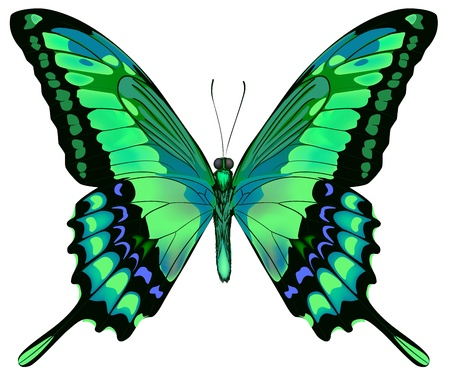 butterfly wings: Vector illustration of beautiful blue green butterfly  isolated on white background