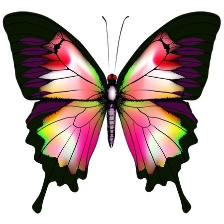 black butterfly: Isolated Butterfly