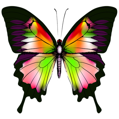 butterfly isolated: Isolated Butterfly Vector Illustration