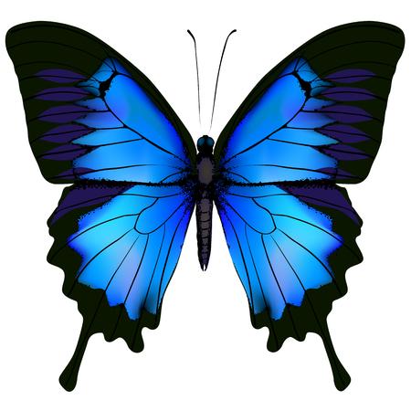 zeichnung: Blauer Schmetterling Papilio Ulysses. Berg Schwalbenschwanz auf weißem Hintergrund