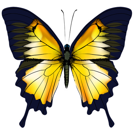 zoology: Butterfly. Yellow butterfly isolated illustration on white background. Nonexistent butterfly zoology specimen