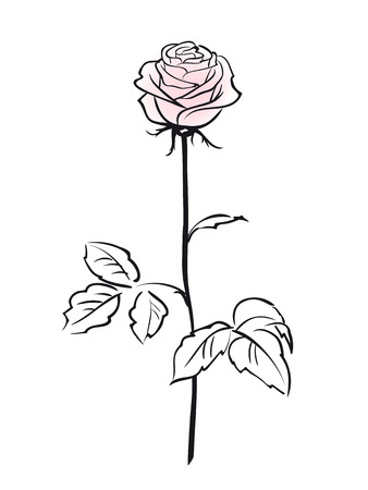 flower rose: Pink rose flower isolated on the white background