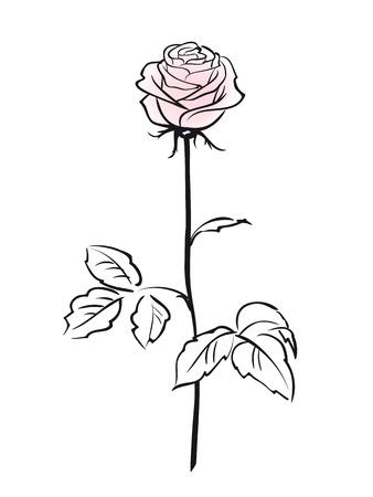 Rosa Rosen-Blume auf dem weißen Hintergrund isoliert
