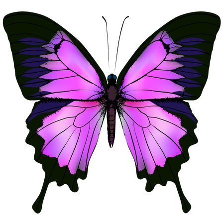 Butterfly illustration of beautiful pink and purple butterfly isolated on white background Çizim
