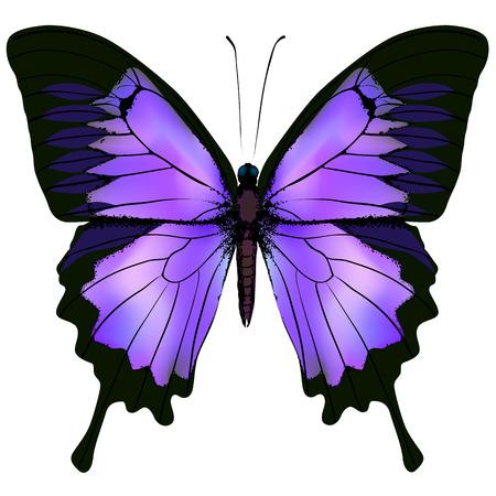 Mariposa. Ilustración vectorial de la hermosa rosa y púrpura de la mariposa violeta lila aislado en el fondo blanco