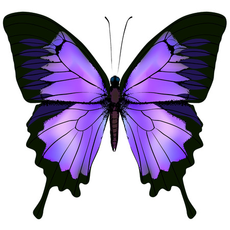 Butterfly. Vector illustration of beautiful pink and purple lilac violet butterfly isolated on white background