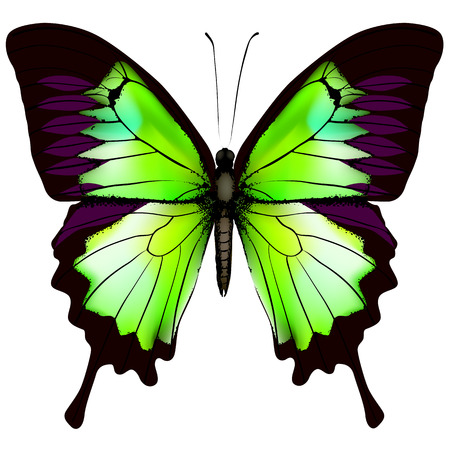 Butterfly. Vector illustration of beautiful green butterfly isolated on white background