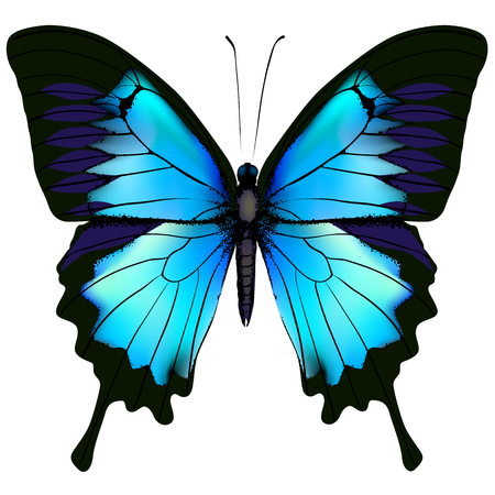 swallowtail: Butterfly. Blue butterfly papilio ulysses (Mountain Swallowtail) isolated vector on white background