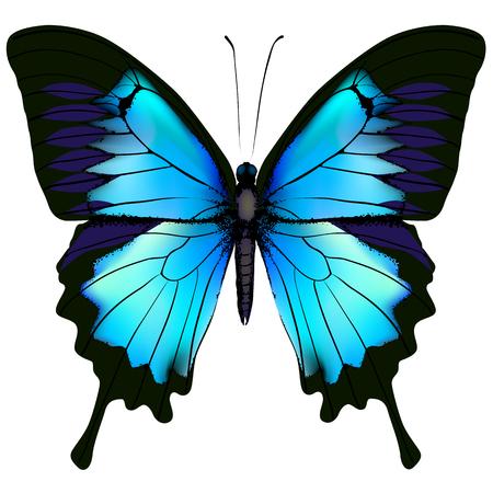 Papillon. Papilio bleu ulysses (machaon de montagne) isolé vecteur sur fond blanc