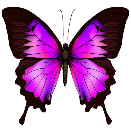 蝶。白い背景に分離された美しいピンクと紫の蝶のベクトル イラスト  イラスト・ベクター素材