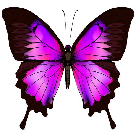 蝶。白い背景に分離された美しいピンクと紫の蝶のベクトル イラスト 写真素材 - 79898659