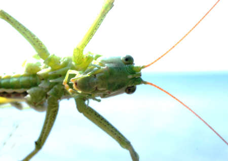 antennae: green grasshopper in the sky