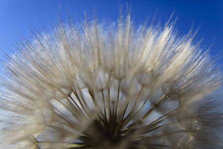 blowball: blowball on blue sky background