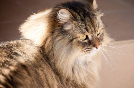 fluffy: retrato de gato mullido