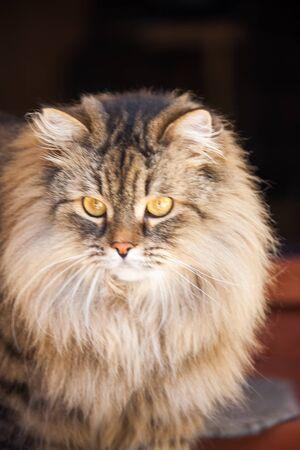 big shaggy cat Stock Photo