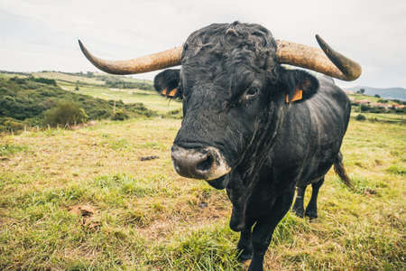 Spanish black bull looking at camera in freedom. Huge horns and affable look.