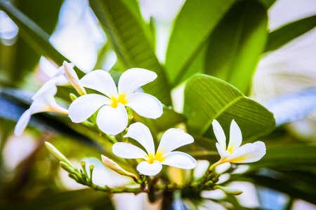 Summer tropical flowers, plumeria at Thailand