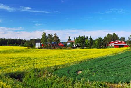 finland�s: Paisaje de verano finland�s con un campo de la violaci�n de flores  Foto de archivo