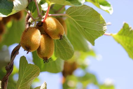 kiwi fruta: Actinidia deliciosa, planta de kiwi con frutos de oro Foto de archivo