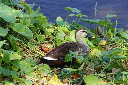 waterbird: single spot-billed duck on the riverbank, closeup
