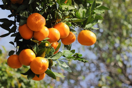 Ripe tangerines on branch, green leaves, orange fruit. Banco de Imagens