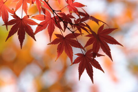 koyo: Autumn in Japan, the leaves of the trees change to beautiful colors.