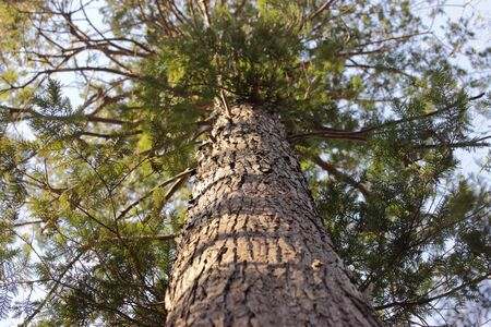 tall tree: tall tree seen from below with blue sky background