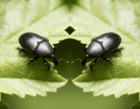cantharis: black bedbugs sitting on a leaf