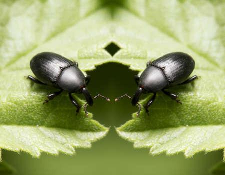 black bedbugs sitting on a leaf