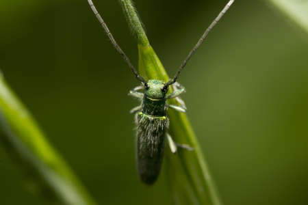 cantharis: green bedbug with long antennas sitting on a plant Stock Photo
